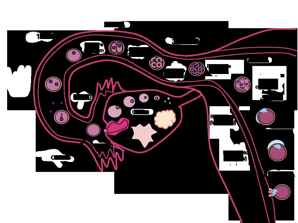 fecundacao placenta