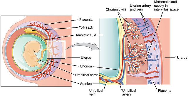 placenta-funcionamento