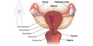 dilatação_Sistema_reprodutor_feminino_wikipedia